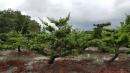景觀樹木,庭園造景樹木,綠化樹木,園藝樹苗,道路用樹-75