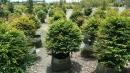 景觀樹木,庭園造景樹木,綠化樹木,園藝樹苗,道路用樹-74