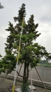 景觀樹木,庭園造景樹木,綠化樹木,園藝樹苗,道路用樹-76