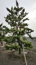 景觀樹木,庭園造景樹木,綠化樹木,園藝樹苗,道路用樹-77