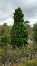 景觀樹木,庭園造景樹木,綠化樹木,園藝樹苗,道路用樹-78
