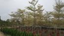 景觀樹木,庭園造景樹木,綠化樹木,園藝樹苗,道路用樹-79