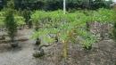 景觀樹木,庭園造景樹木,綠化樹木,園藝樹苗,道路用樹-82