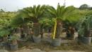 景觀樹木,庭園造景樹木,綠化樹木,園藝樹苗,道路用樹-83