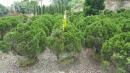 景觀樹木,庭園造景樹木,綠化樹木,園藝樹苗,道路用樹-84