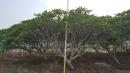 景觀樹木,庭園造景樹木,綠化樹木,園藝樹苗,道路用樹-85
