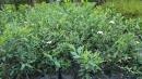 景觀樹木,庭園造景樹木,綠化樹木,園藝樹苗,道路用樹-88