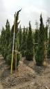 景觀樹木,庭園造景樹木,綠化樹木,園藝樹苗,道路用樹-89