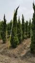 景觀樹木,庭園造景樹木,綠化樹木,園藝樹苗,道路用樹-90