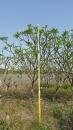 景觀樹木,庭園造景樹木,綠化樹木,園藝樹苗,道路用樹-93