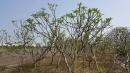 景觀樹木,庭園造景樹木,綠化樹木,園藝樹苗,道路用樹-94
