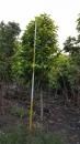 景觀樹木,庭園造景樹木,綠化樹木,園藝樹苗,道路用樹-96