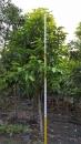 景觀樹木,庭園造景樹木,綠化樹木,園藝樹苗,道路用樹-97