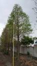 景觀樹木,庭園造景樹木,綠化樹木,園藝樹苗,道路用樹-98