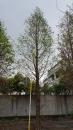 景觀樹木,庭園造景樹木,綠化樹木,園藝樹苗,道路用樹-99