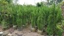 景觀樹木,庭園造景樹木,綠化樹木,園藝樹苗,道路用樹-100