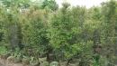 景觀樹木,庭園造景樹木,綠化樹木,園藝樹苗,道路用樹-101