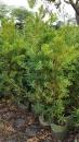 景觀樹木,庭園造景樹木,綠化樹木,園藝樹苗,道路用樹-102