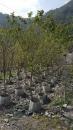 景觀樹木,庭園造景樹木,綠化樹木,園藝樹苗,道路用樹-103