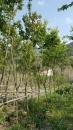 景觀樹木,庭園造景樹木,綠化樹木,園藝樹苗,道路用樹-105