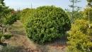 景觀樹木,庭園造景樹木,綠化樹木,園藝樹苗,道路用樹-106