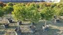 景觀樹木,庭園造景樹木,綠化樹木,園藝樹苗,道路用樹-107