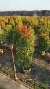 景觀樹木,庭園造景樹木,綠化樹木,園藝樹苗,道路用樹-108