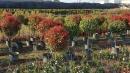 景觀樹木,庭園造景樹木,綠化樹木,園藝樹苗,道路用樹-109