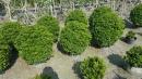 景觀樹木,庭園造景樹木,綠化樹木,園藝樹苗,道路用樹-110