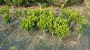 景觀樹木,庭園造景樹木,綠化樹木,園藝樹苗,道路用樹-112