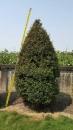 景觀樹木,庭園造景樹木,綠化樹木,園藝樹苗,道路用樹-113