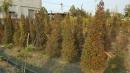 景觀樹木,庭園造景樹木,綠化樹木,園藝樹苗,道路用樹-114