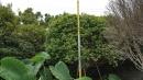 景觀樹木,庭園造景樹木,綠化樹木,園藝樹苗,道路用樹-115