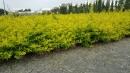 景觀樹木,庭園造景樹木,綠化樹木,園藝樹苗,道路用樹-117