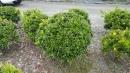 景觀樹木,庭園造景樹木,綠化樹木,園藝樹苗,道路用樹-118