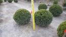 景觀樹木,庭園造景樹木,綠化樹木,園藝樹苗,道路用樹-120