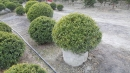 景觀樹木,庭園造景樹木,綠化樹木,園藝樹苗,道路用樹-119