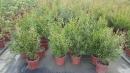 景觀樹木,庭園造景樹木,綠化樹木,園藝樹苗,道路用樹-124