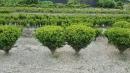 景觀樹木,庭園造景樹木,綠化樹木,園藝樹苗,道路用樹-125
