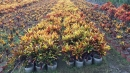 景觀樹木,庭園造景樹木,綠化樹木,園藝樹苗,道路用樹-127