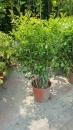 景觀樹木,庭園造景樹木,綠化樹木,園藝樹苗,道路用樹-128