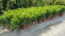 景觀樹木,庭園造景樹木,綠化樹木,園藝樹苗,道路用樹-129