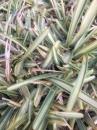 斑葉澳古斯丁草