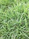 (草子)甲儉草,草皮,種子。