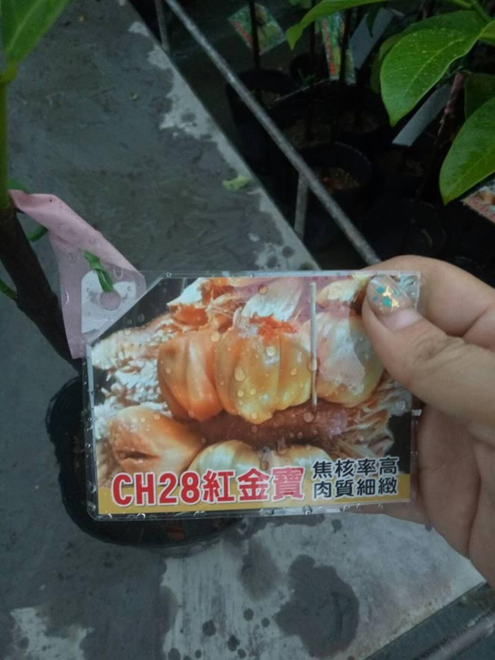 CH28紅金寶榴槤蜜果苗