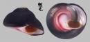 紅唇鐘螺 Oxystele sinensis 1