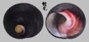 紅唇鐘螺 Oxystele sinensis 2