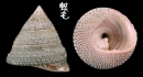 細紋鐘螺 Trochus hanleyanus 1