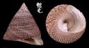 細紋鐘螺 Trochus hanleyanus 4