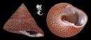 花豹鐘螺 Clanculus undatus